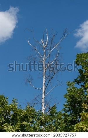 Standing dead tree or snag, dry birch tree against blue sky Royalty-Free Stock Photo #2035927757