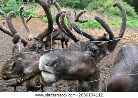 Serveral caribou along a chain fence looking for food Royalty-Free Stock Photo #2036194112