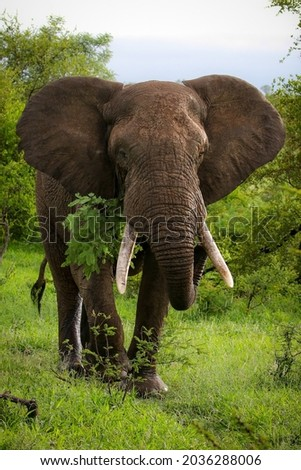 Large tusker African elephant eating from green bush, Kruger National Park, South Africa Royalty-Free Stock Photo #2036288006