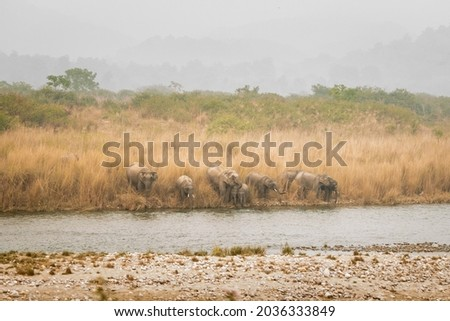 wild asian elephant or tusker family or herd in action drinking water or quenching thirst from ramganga river at dhikala zone of jim corbett national park uttarakhand india - Elephas maximus indicus Royalty-Free Stock Photo #2036333849