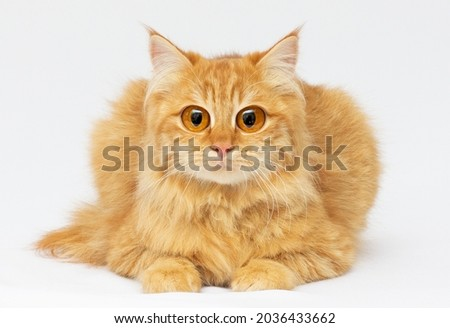 Cute red Scottish cat with funny grimace and unreal eyes