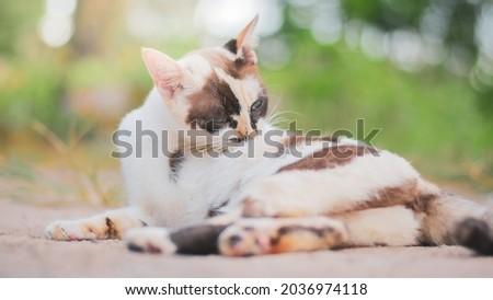 Thai short haired cat, cute pattern. playful cute cat
