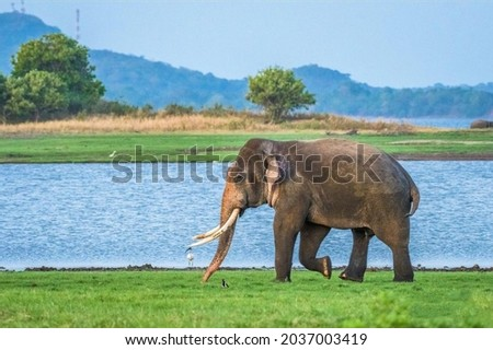 Tusker Sumeda Near the Lake Going to have a Shower Royalty-Free Stock Photo #2037003419