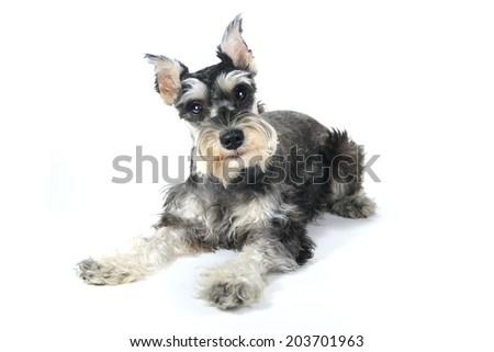 Miniature Schnauzer Puppy Dog on White Background #203701963