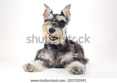 Miniature Schnauzer Puppy Dog on White Background #203702041
