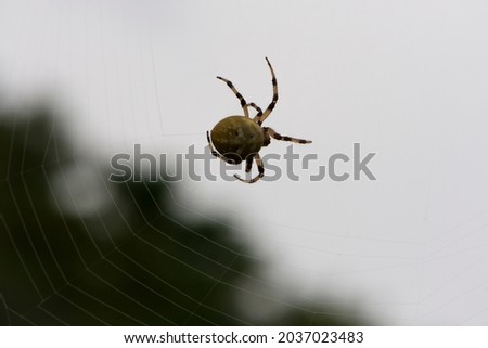 Araneus quadratus. a large cross spider sits in her spider's web and lurks for prey. spider on a web. macro nature. isolated on white. predator on the hunt. arthropod close-up Royalty-Free Stock Photo #2037023483