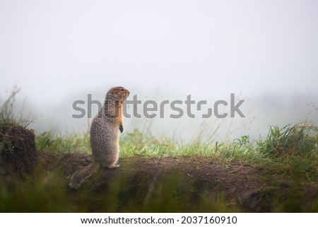 Gopher stands on its hind legs in the grass. Wildlife of Kamchatka peninsula. Russia. Summer nature