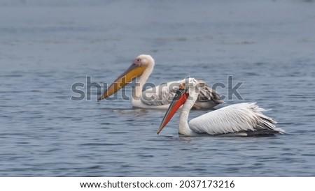 A Dalmatian pelican (Pelecanus crispus) and a Great white pelican or Rosy pelican (Pelecanus onocrotalus) - (selective focus) swimming in water at Keoladeo National Park, Bharatpur, Rajasthan, India.  Royalty-Free Stock Photo #2037173216