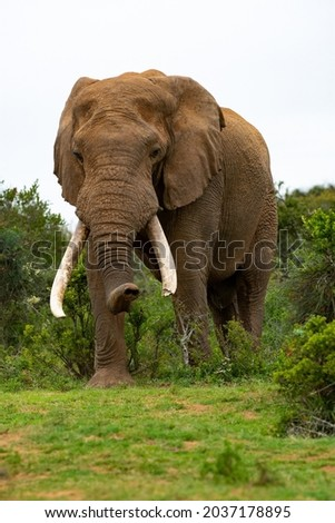 A lone elephant Bull in the Addo Elephant National Park in the Eastern Cape Province , South Africa.  Isolated elephant with tusks. Royalty-Free Stock Photo #2037178895