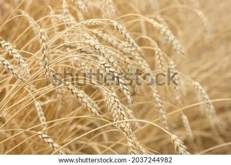 Ears Of Ripe Barley Growing On A Farm Field. backdrop of ripening ears of yellow wheat field on sunset sky background. setting sun rays on horizon in rural meadow. nature photo Idea of a rich harvest