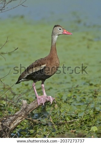Black-bellied whistling duck sitting on a snag in the water. Texas. Royalty-Free Stock Photo #2037273737