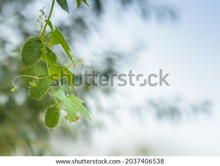 The echinoderm (Echinocystis lobata) is a species of plant in the family Cucurbitaceae, the only one in its genus. It grows naturally in North America, but now also grows in Eurasia. Royalty-Free Stock Photo #2037406538