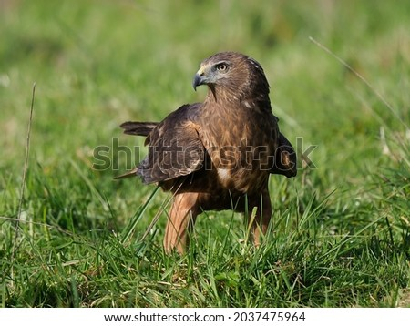 Portrait of a Kahu or Australasian Swamp Harrier, New Zealand's largest avian predator Royalty-Free Stock Photo #2037475964