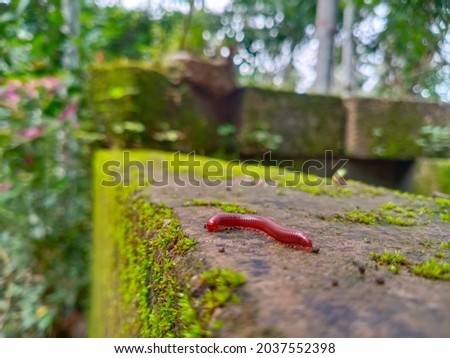 Millipedes in red colour. Creeping insect arthropods. Royalty-Free Stock Photo #2037552398