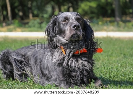 beautiful purebred blue picardian spaniel. Close up Royalty-Free Stock Photo #2037648209