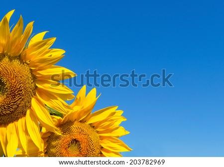 Sunflower #203782969