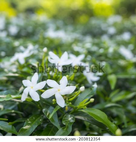 White Ixora flower in the park #203812354