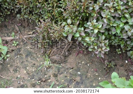 Fejervarya limnocharis is a species of frog. It is known under many common names, including Boie's wart frog, rice field or Asian grass frog. Amphibia Anura Dicroglossidae Chordatal Royalty-Free Stock Photo #2038172174