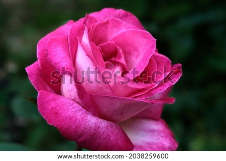 Close-up of a pink rose on a dark green background. High quality photo Royalty-Free Stock Photo #2038259600