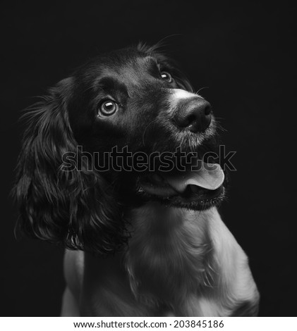 Working english springer spaniel puppy, six month old, studio shot black and white image #203845186