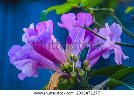The stefanot plant (Pseudocalymna alliaceum) is a woody vine with shiny dark green leaves with tapered leaf tips. The flowers grow in clusters in dozens of buds on each flower stalk. Royalty-Free Stock Photo #2038471277