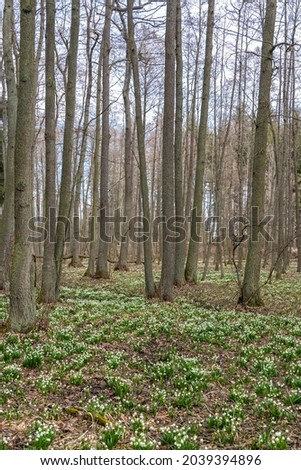 early spring forest with spring snowflake, Vysocina, Czech Repubic Royalty-Free Stock Photo #2039394896