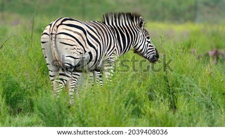 Zebra grazing in Rietvlei Nature Reserve, Pretoria, South Africa Royalty-Free Stock Photo #2039408036
