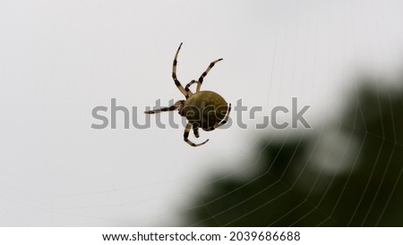 Araneus quadratus. a large cross spider sits in her spider's web and lurks for prey. spider on a web. macro nature. isolated on white. predator on the hunt. arthropod close-up Royalty-Free Stock Photo #2039686688