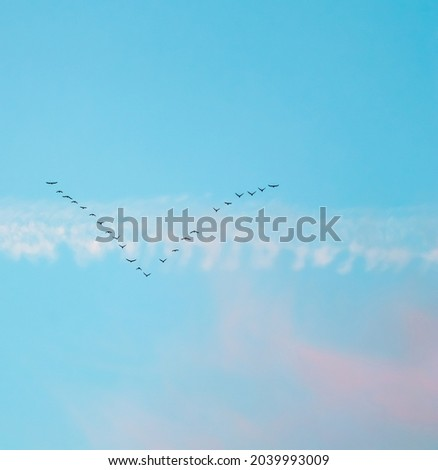 Flock of wild birds flying in a wedge against blue sky with white and pink clouds in sunset The concept of avian migratory Royalty-Free Stock Photo #2039993009