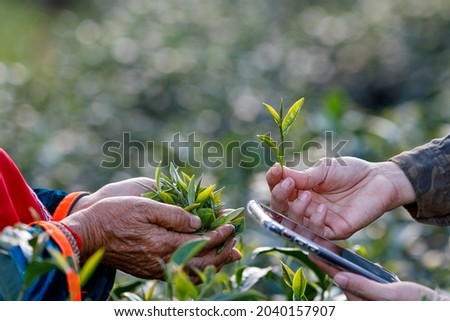 trader checking quality of tea leaves in her hand and Farmer in green tea plantation and market price on app smartphone before agreeing to buy and sell with tea Farmer, photograph selective focus blur