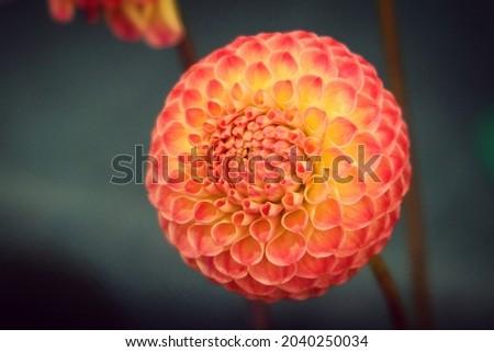 Pompon type Dahlia 'Minley Carol' in flower.