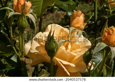 Small yellow rose with buds. Selective focus. High quality photo Royalty-Free Stock Photo #2040537578