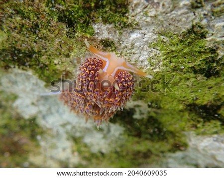 A four coloured nudibranch found in a rock pool.