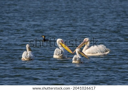 A closeup of a group of white Pelecaniformes waterbirds swimming in the lake Royalty-Free Stock Photo #2041026617