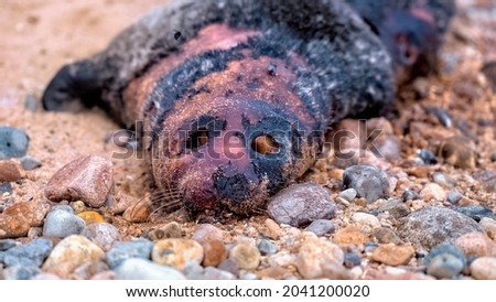 Dead common seal pup (harbour seal) lying on a beach with his eyes pecked out Royalty-Free Stock Photo #2041200020