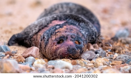 Dead common seal pup (harbour seal) lying on a beach with his eyes pecked out Royalty-Free Stock Photo #2041200302