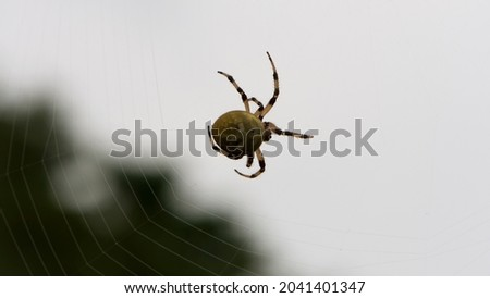 Araneus quadratus. a large cross spider sits in her spider's web and lurks for prey. spider on a web. macro nature. isolated on white. predator on the hunt. arthropod close-up Royalty-Free Stock Photo #2041401347