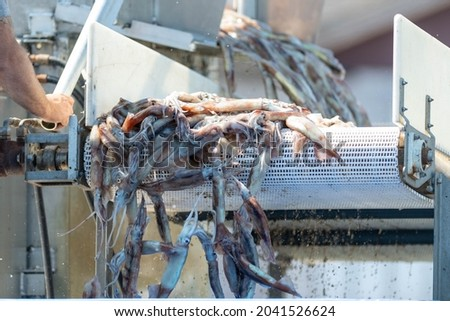 Fresh, raw squid or cuttlefish coming off a stainless steel fish plant conveyor belt on a wharf. The catch is used for calamari and fish bait. The animal has long tentacles in its invertebrate cavity  Royalty-Free Stock Photo #2041526624