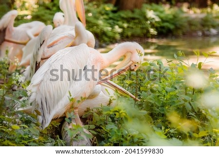 The great white pelican (Pelecanus onocrotalus) aka the eastern white pelican, rosy pelican or white pelican. Wild birds in nature. The inhabitants of the zoo. Birdwatching. Royalty-Free Stock Photo #2041599830
