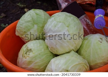 Stock photo of fresh white color cabbage kept in plastic container or round shape plastic basket for sale in Indian local vegetable market at Kolhapur Maharashtra India.