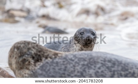 Common seal pup (harbour seal) hiding behind her mother with breaking waves and surf in the background Royalty-Free Stock Photo #2041783208