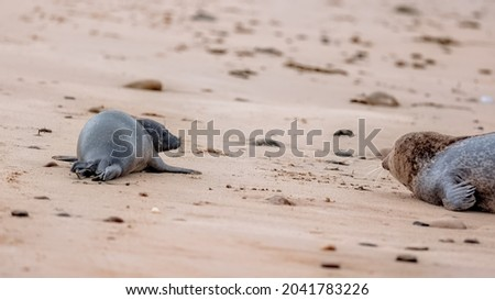 Common seal pup (harbour seal) lying on a beach with its mother Royalty-Free Stock Photo #2041783226