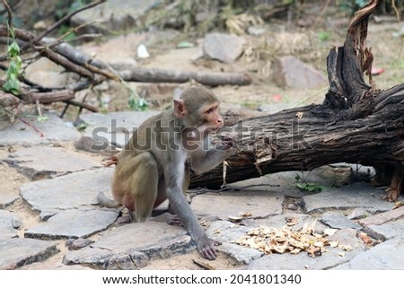Monkey is busy in eating chapati. This picture was taken at galta ji temple Jaipur.
