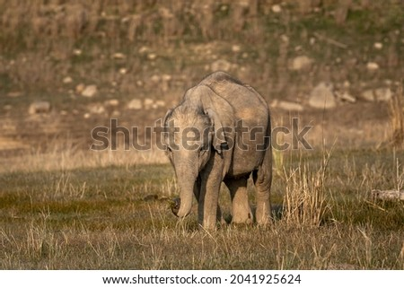 wild asian elephant calf or tusker portrait walking head on with grass in his trunk at dhikala zone of jim corbett national park uttarakhand india - Elephas maximus indicus Royalty-Free Stock Photo #2041925624