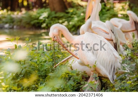 The great white pelican (Pelecanus onocrotalus) aka the eastern white pelican, rosy pelican or white pelican. Wild birds in nature. The inhabitants of the zoo. Birdwatching. Royalty-Free Stock Photo #2042371406