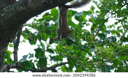 A squirrel is eating fruit. Squirrels are herbivores that eat seeds. Royalty-Free Stock Photo #2042394386