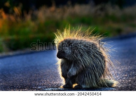 Close up detail of a Porcupine in wilderness sunlight on quills early morning