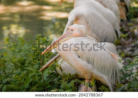 The great white pelican (Pelecanus onocrotalus) aka the eastern white pelican, rosy pelican or white pelican. Wild birds in nature. The inhabitants of the zoo. Birdwatching. Royalty-Free Stock Photo #2042788367