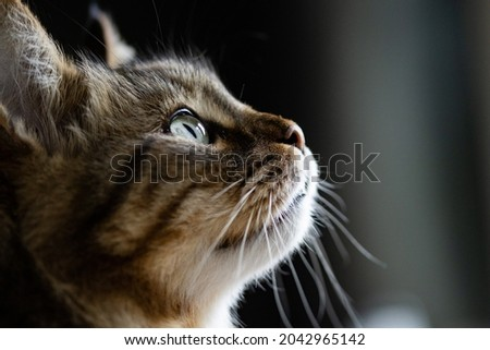 Cat face portrait. Long-haired cat with light in the eyes. Pet portrait,with face details. Side picture of cat face. Profile picture