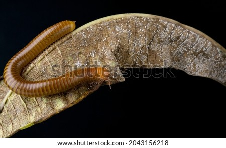 Millipede Asia on decomposing mango leaf showing its numerus legs and segmented body Millipedes are from the animal group arthropods Royalty-Free Stock Photo #2043156218